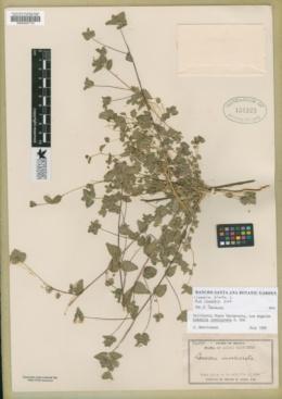 Loeselia ciliata image