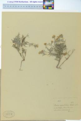Picradeniopsis oppositifolia image