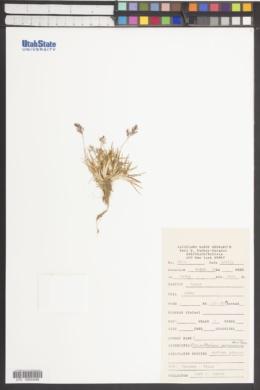 Image of Dissanthelium peruvianum