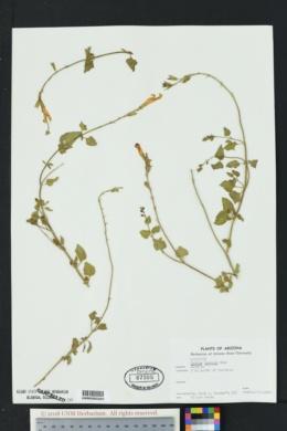 Salvia lemmonii image