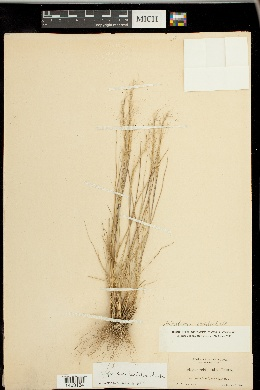 Achnatherum occidentale image