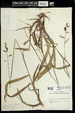 Image of Paspalum jaliscanum
