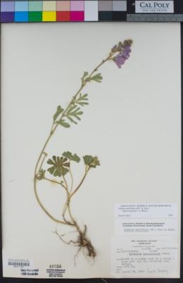 Sidalcea malviflora image