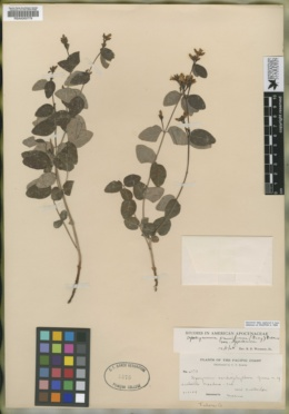 Apocynum cardiophyllum image