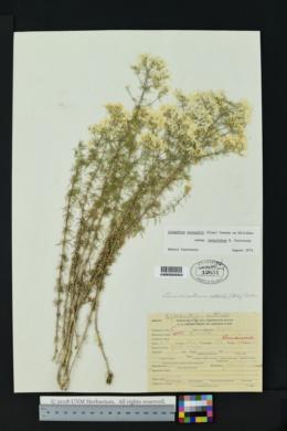 Linanthus nuttallii subsp. tenuilobus image