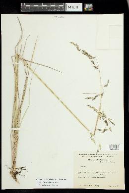 Image of Festuca orizabensis