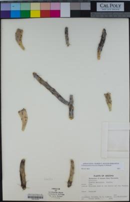 Cylindropuntia arbuscula image