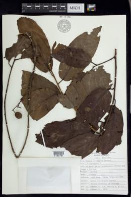 Image of Prunus cortapico