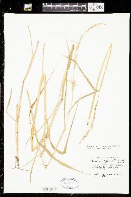 Paspalidium geminatum image