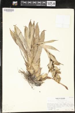 Image of Tillandsia biflora