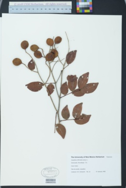 Copaifera officinalis image