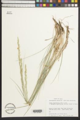 Elymus magellanicus image