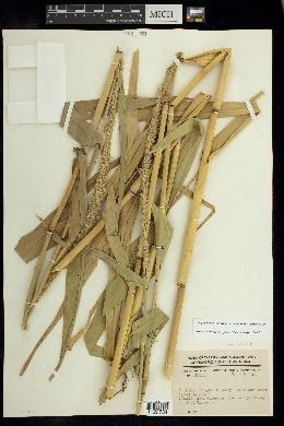 Hymenachne amplexicaulis image