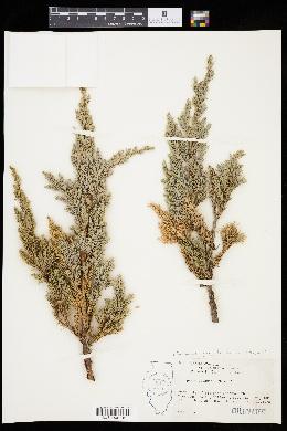 Image of Juniperus squamata