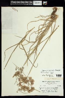 Cyperus surinamensis image