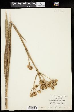 Eryngium yuccifolium image