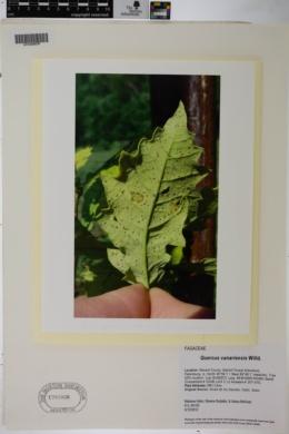 Quercus canariensis image