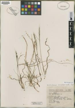 Muhlenbergia eriophylla image