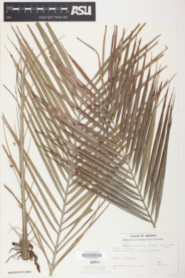 Phoenix roebelenii image