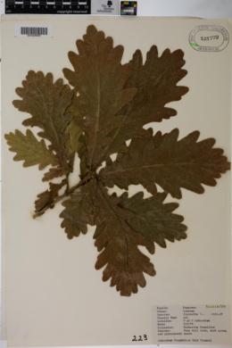 Quercus frainetto image
