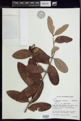 Image of Heteropterys andersonii