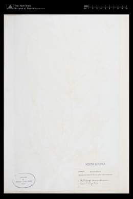 Stephanocystis osmundacea image