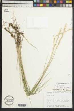 Image of Pseudoroegneria geniculata