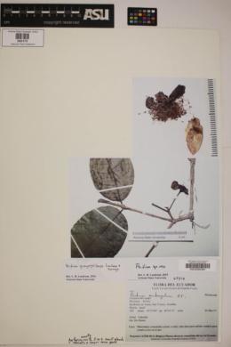 Psidium guayaquilense image