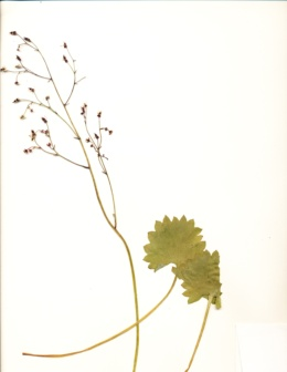 Saxifraga odontoloma image