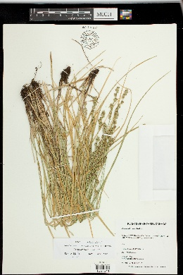 Image of Carex leersii