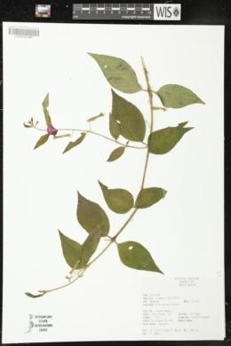Cuphea nitidula image