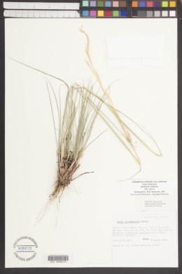 Achnatherum occidentale subsp. pubescens image