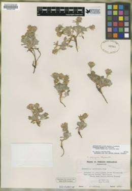 Chaenactis alpigena image