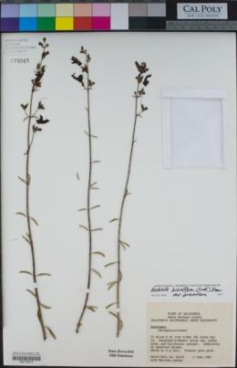 Keckiella breviflora image