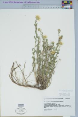 Xanthisma blephariphyllum image