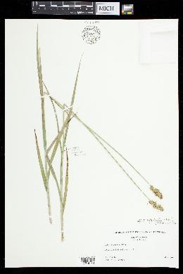 Carex aggregata image