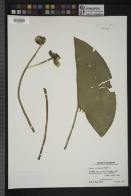 Nuphar variegatum image