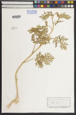 Solanum lumholtzianum image
