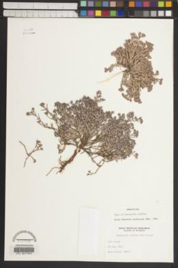 Paronychia depressa image