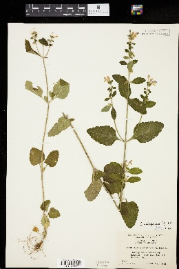 Image of Scutellaria elliptica
