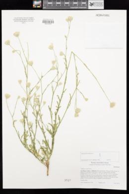 Volutaria canariensis image