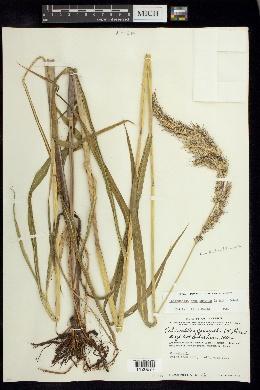 Echinochloa crus-pavonis image