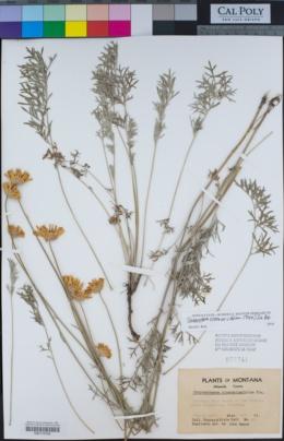 Chrysanthemum cinerariifolium image