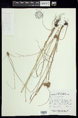Image of Cyperus ischnos