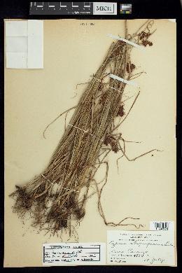 Cyperus manimae image