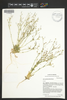 Gilia ophthalmoides image