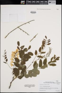 Phoradendron californicum image