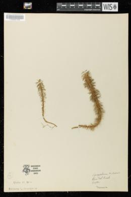 Image of Lycopodium wilsonii