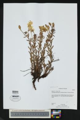 Calylophus hartwegii subsp. filifolius image