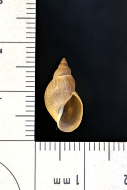 Image of Stagnicola emarginata